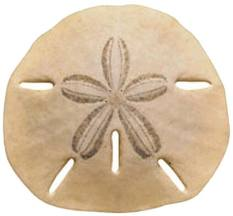 how to find sand dollars oceanislebeach com