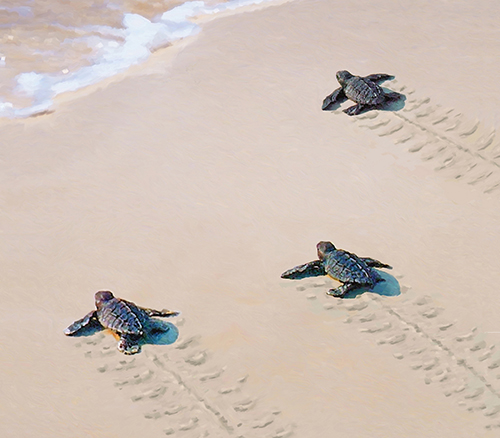 Support The Ocean Isle Beach Sea Turtle Patrol Ocean Isle Beach North Carolina