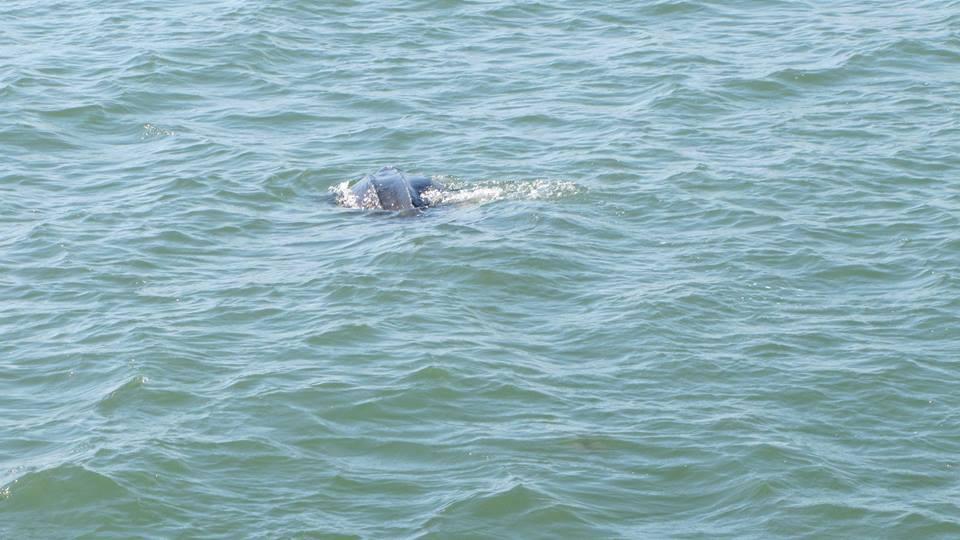 Leatherback Turtle Spotted At Ocean Isle Beach Ocean